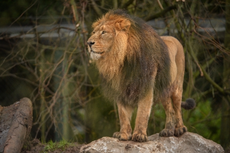 Majestic lion at Chester Zoo, one of the fine collection of wild animals at Chester Zoo